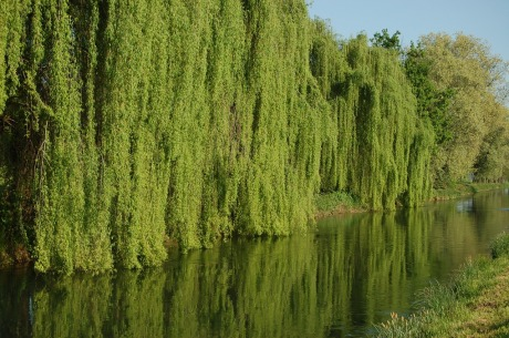 willow2